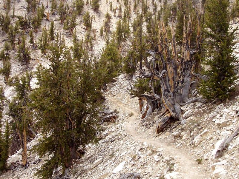 Khalifa's California: Methusela—One of the world's oldest living beings