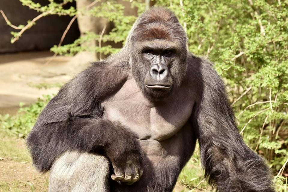 Michelle Gregg Won't Face Charges in Cincinnati Zoo Accident, Offers Condolences for Harambe