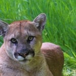 It's time to protect California's mountain lions