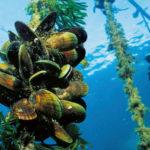 Did sea farm debacle sink California aquaculture?