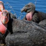 Return of the California condor to Sequoia National Park signals another Endangered Species Act success